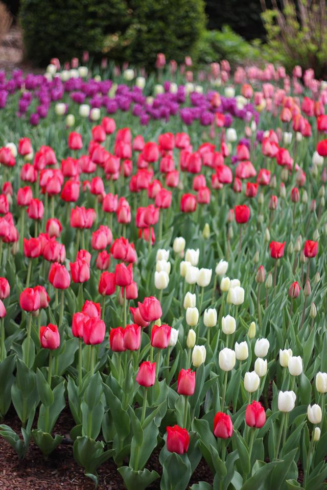 Carl Schurz tulips-5927