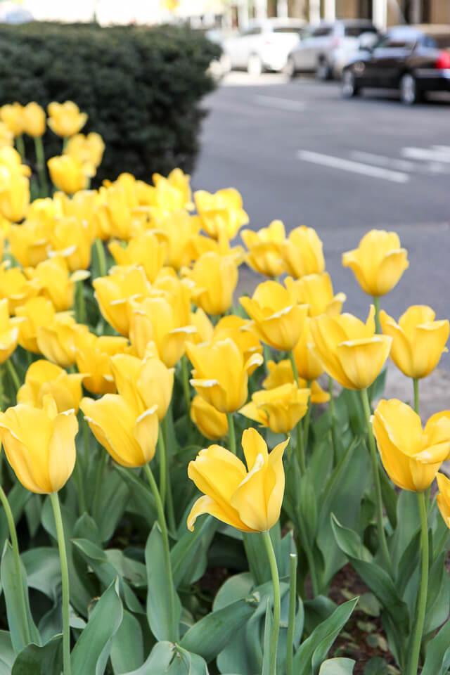 Park Avenue tulips-2345