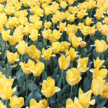 Photo Essays: Park Avenue Tulips