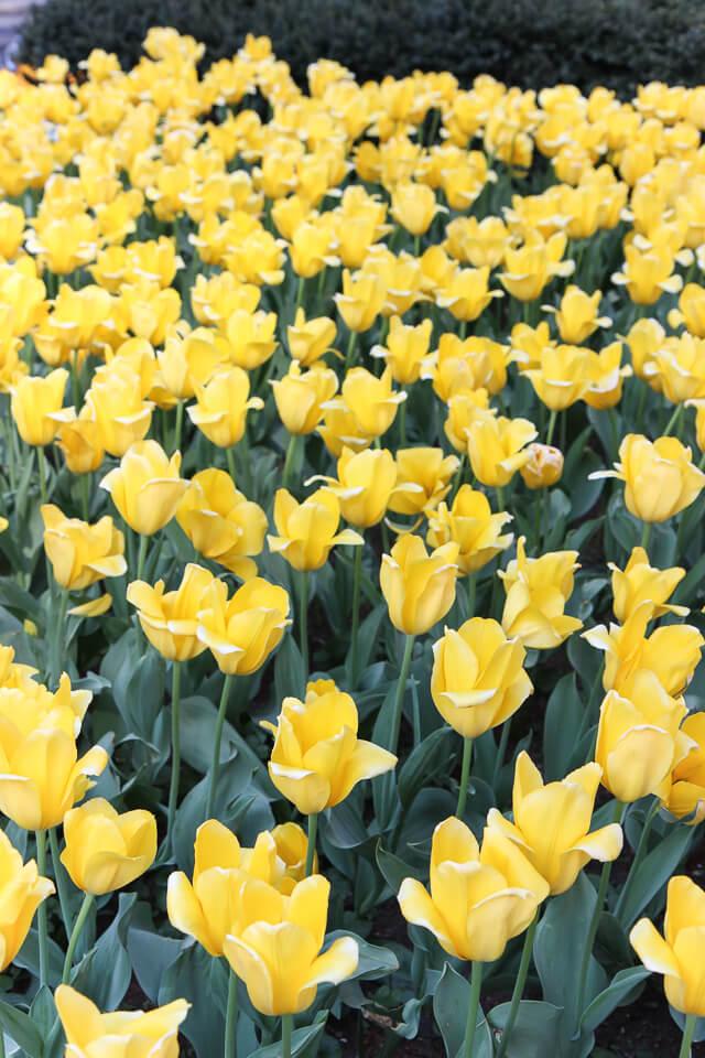 Park Avenue tulips-2352