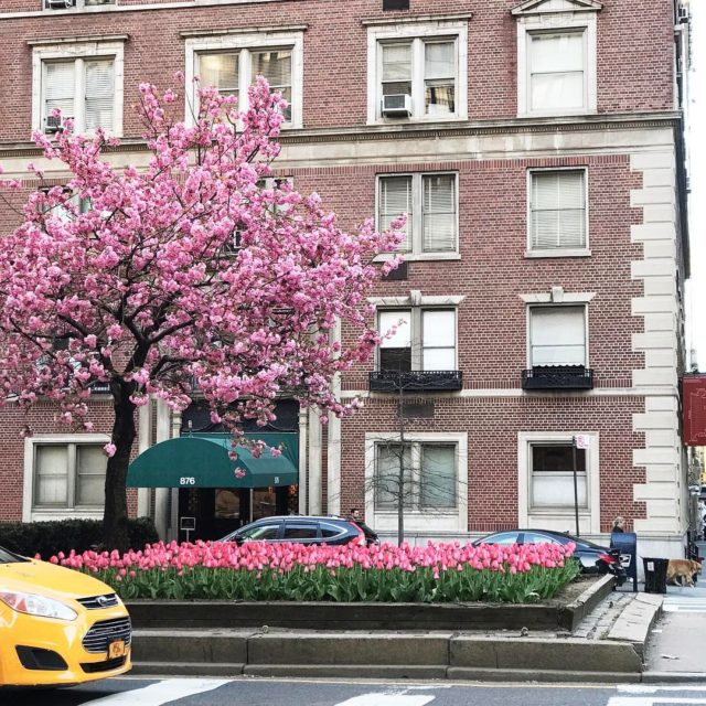 Shades of pink from my morning walktulips parkavenue