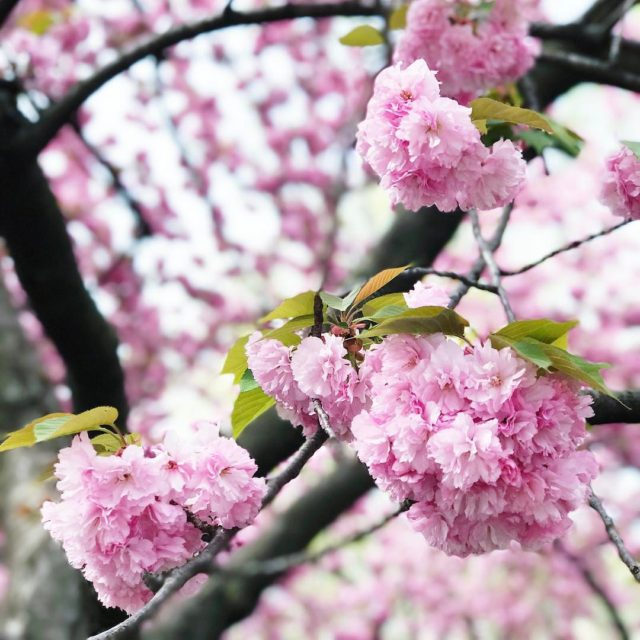 Blooms stay forever please! Thanks! these are cherry blossoms right?hellip