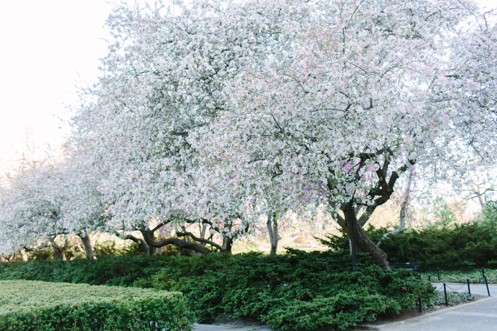 Crabapple trees Central Park Conservatory Garden