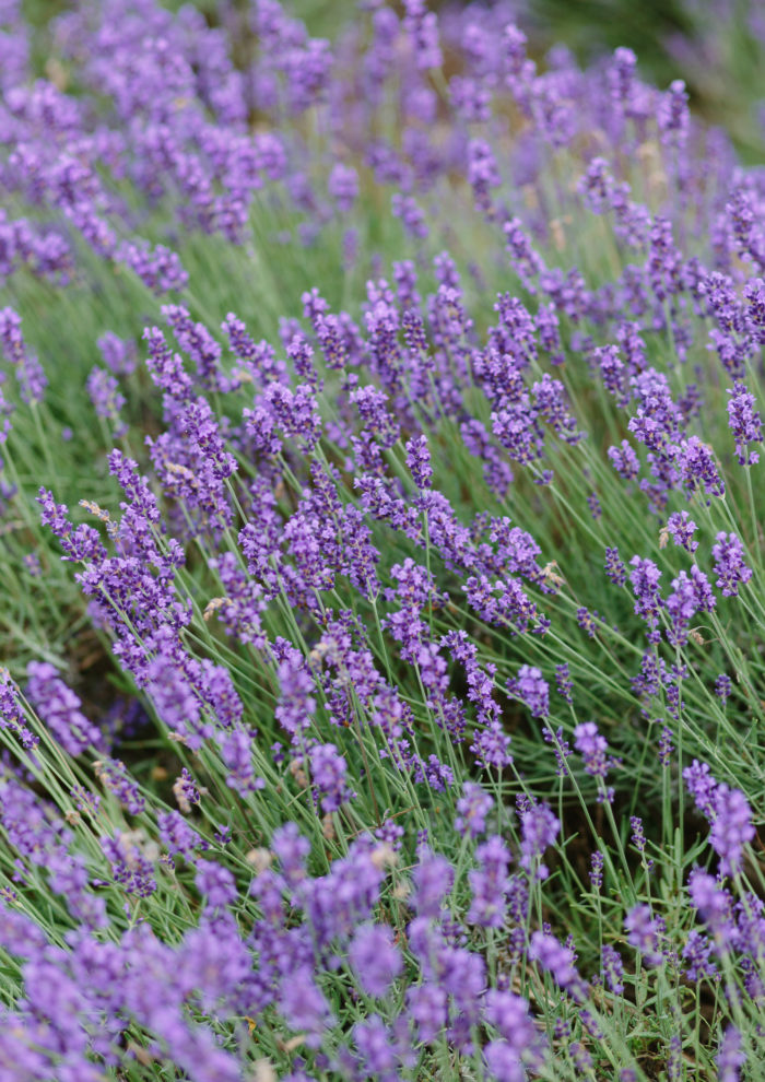 Weekend Links + Lavender by the Bay
