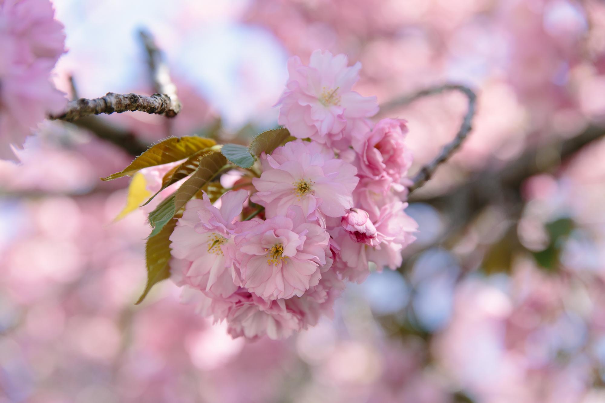 Carl Schurz Park cherry blossoms