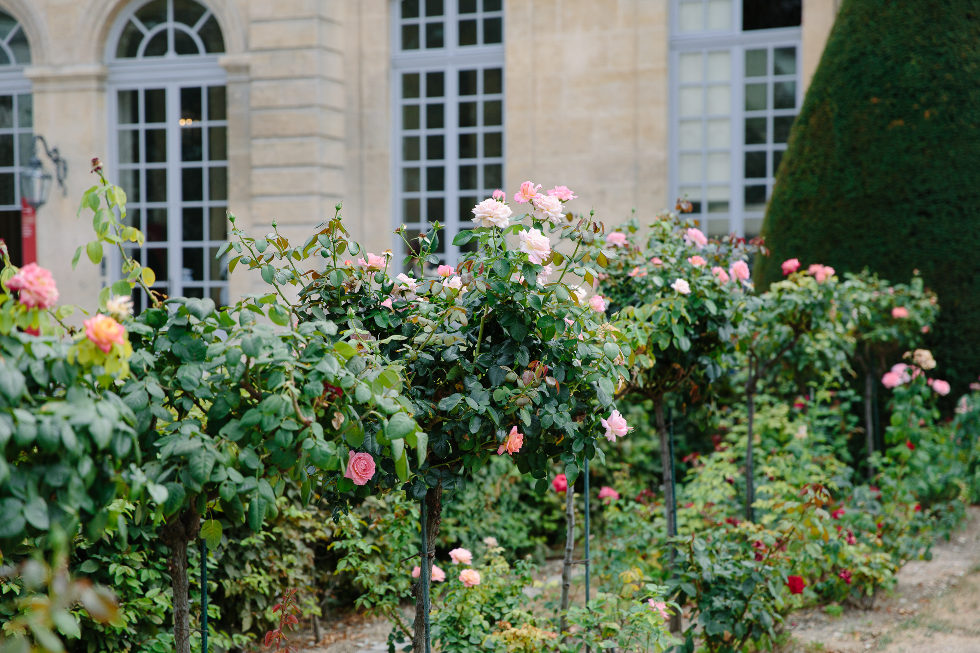 roses at Rodin Museum in Paris